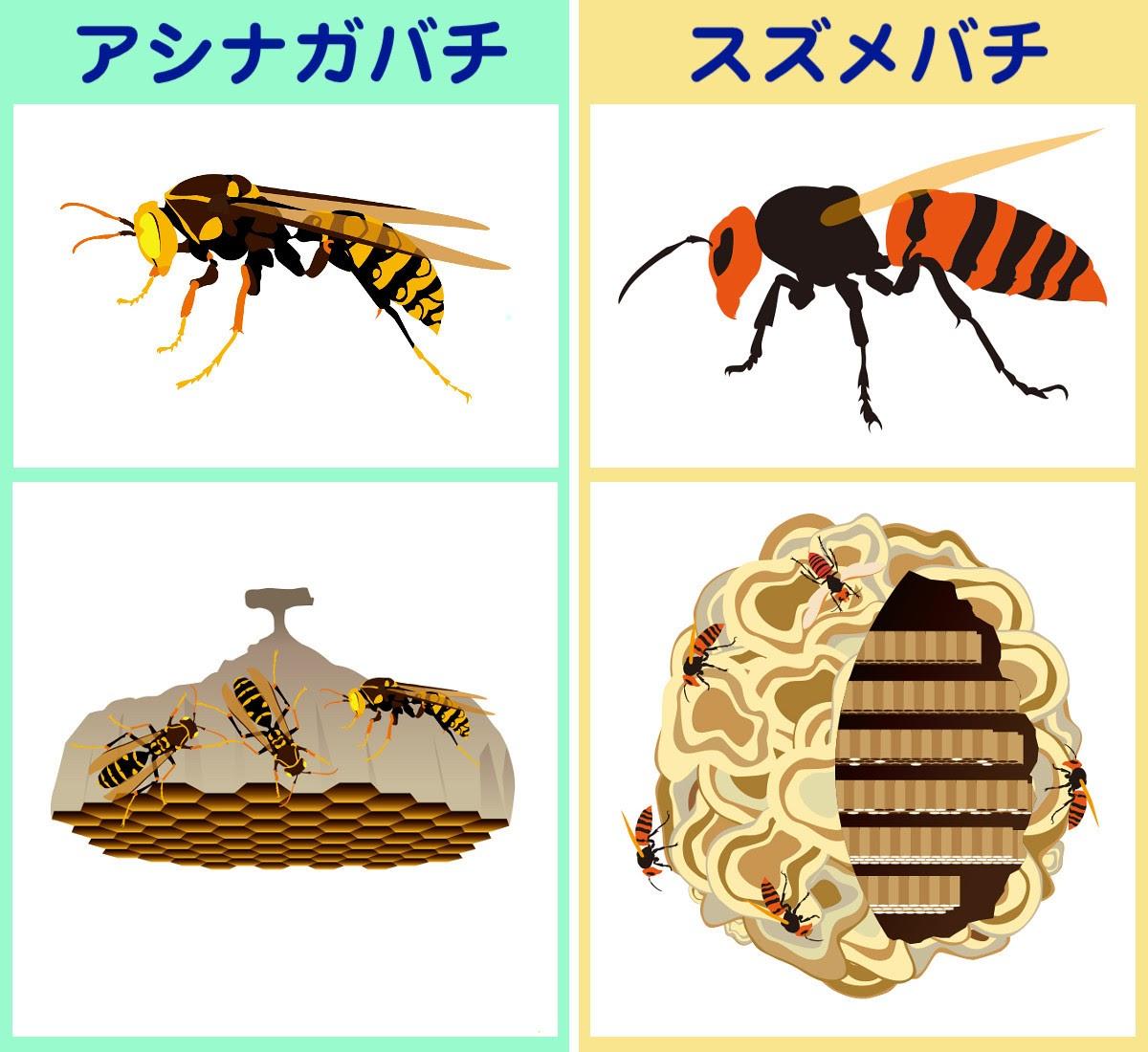 アシナガバチとスズメバチ