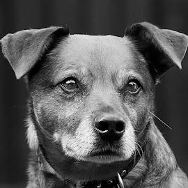 Rory by Chrissie Barrow - Black & White Animals ( monochrome, black and white, pet, fur, ears, dog, mono, nose, crossbreed, portrait, eyes, animal )