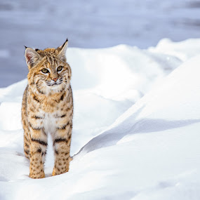 Bobcat 1 by Will Ballew - Animals Other Mammals ( national park, cat, yellowstone, bobcat, yellowstone national park, snow, white, wildlife, cute, ynp )