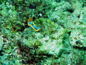 Photo: #020-Plongée à Poindimié. Doris à 4 couleurs