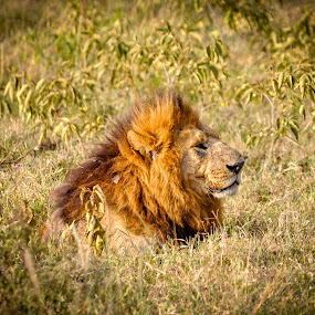 Lord of the Jungle by Mehul V - Animals Lions, Tigers & Big Cats ( nature, masai mara, lion, wildlife, kenya )