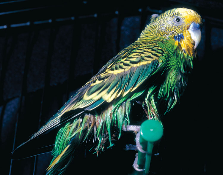 A budgie has been oiled by an ill-informed owner