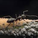 Aphids and Ant