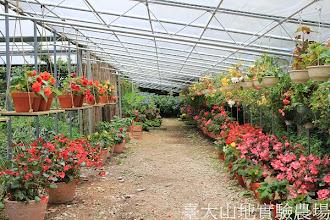 Photo: 拍攝地點: 梅峰-溫帶花卉區-秋海棠花廊 拍攝日期:2012_07_18_FY