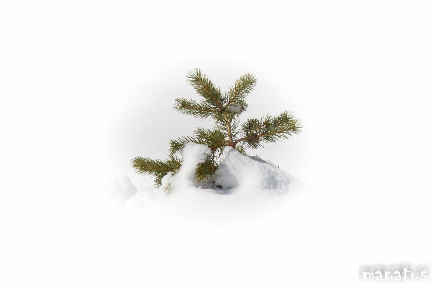 punta de pino manatus