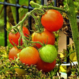 Tomatoes on the vine by Mary Gallo - Food & Drink Fruits & Vegetables ( nature up clsoe, tomatoes, tomatoes on the vine, nature, vegetables,  )