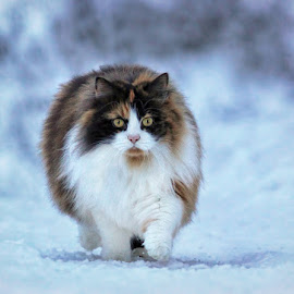 Fluffy cat by Jane Bjerkli - Animals - Cats Portraits (  )