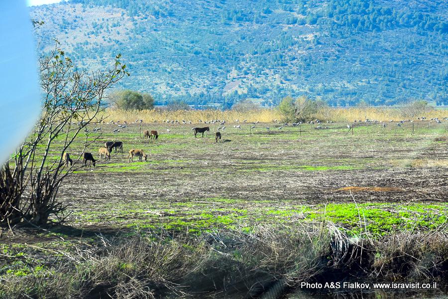 Дикие ослы в заповеднике Хула.