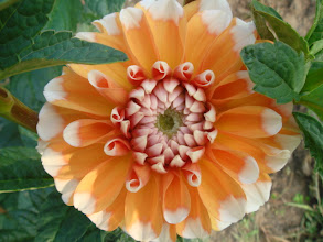 Photo: Dhalia-Bahama Apricot