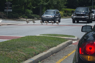 Photo: Why Did The Geese Cross The Road