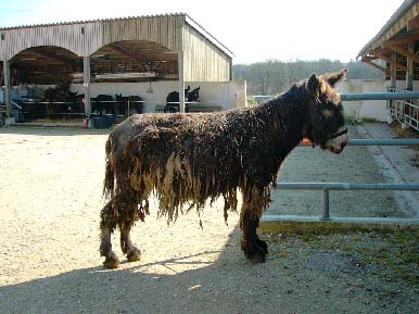 Typical moth eaten appearance of a donkey with a severe mite infestation