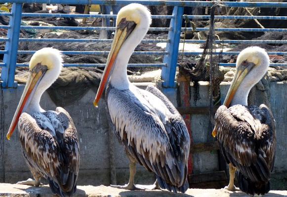 Tre Pellicani al porto di Turistinonpercaso