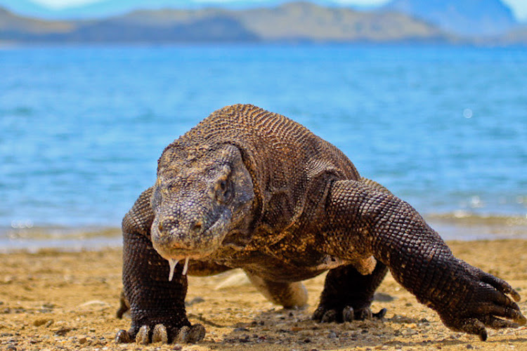 A Komodo dragon on Komodo Island in Indonesia.