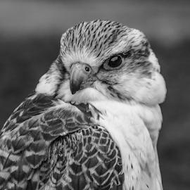 Falcon by Garry Chisholm - Black & White Animals ( raptor, bird of prey, nature, falcon, garry chisholm )