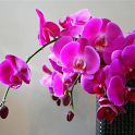 Orchid Flowers HD Wallpapers icon