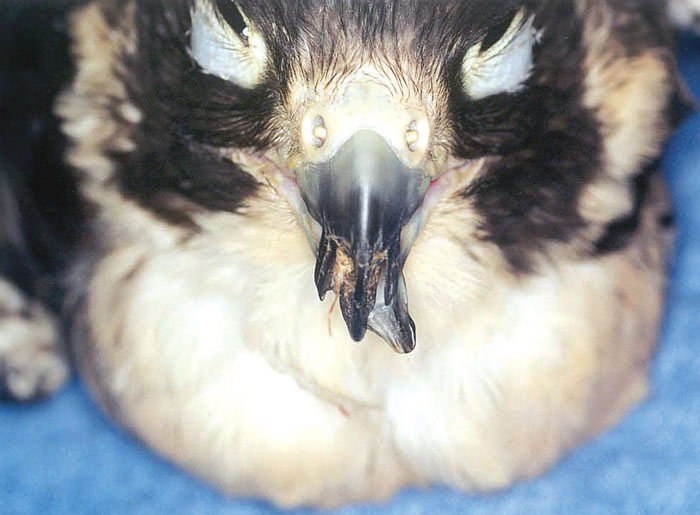 Severe bilateral splitting of the upper beak with lateral deviation of the lower beak in a peregrine falcon due to neglect