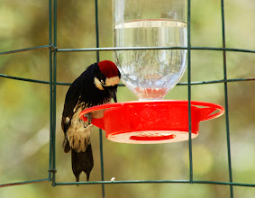Photo: Adult male Acorn Woodpecker feeding at a hummingbird feeder, Madera Canyon, Arizona