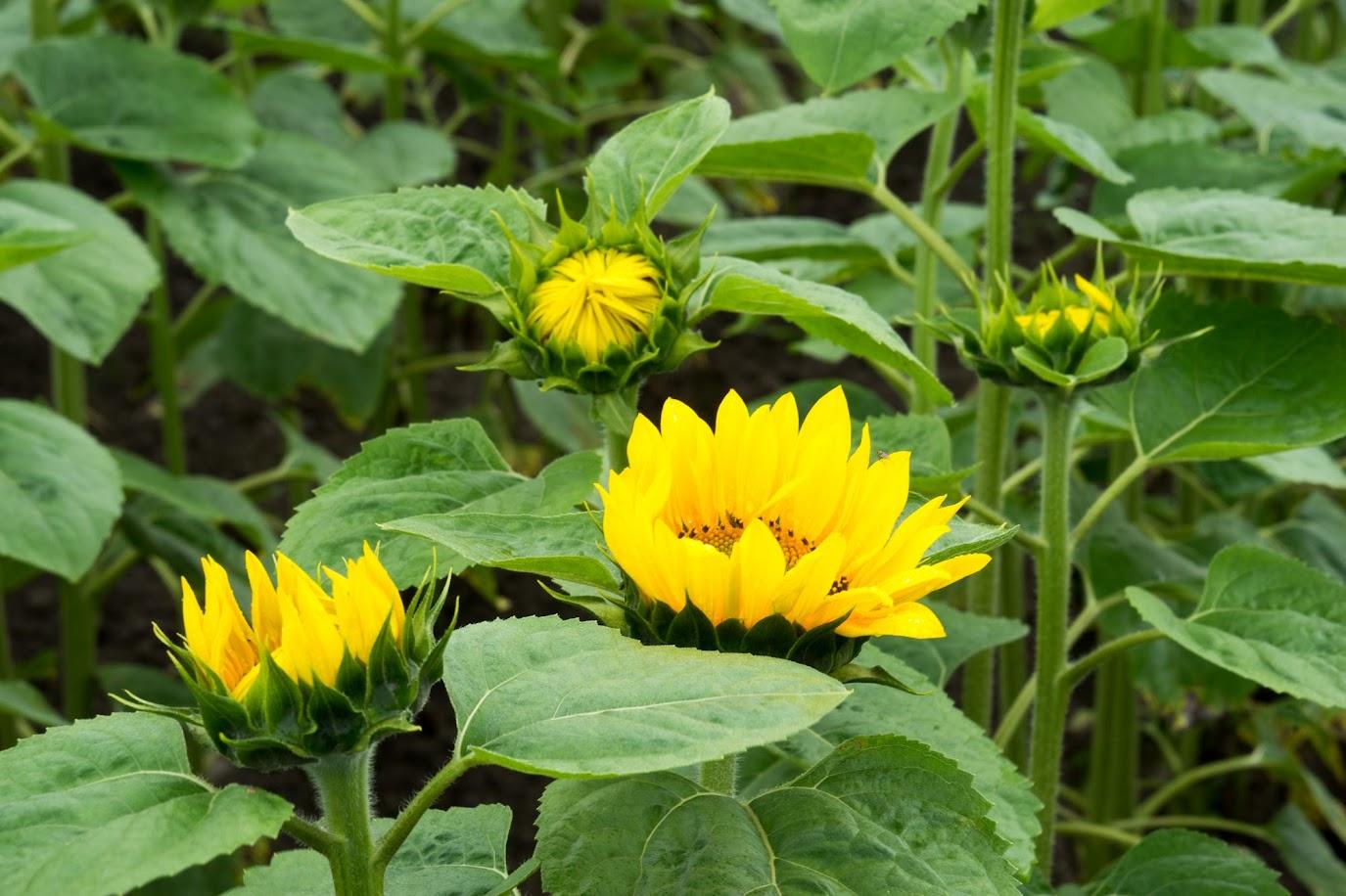 開花過程がわかるひまわりたち