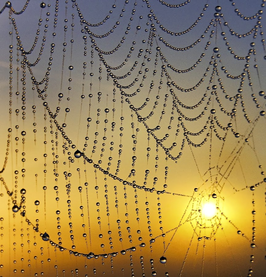 Curves by Adrian Campfield - Nature Up Close Webs ( reflections, yellow, insects, curves, macro, sky, cobweb, nature, dark, gold, light, black, water, clouds, orange, spiders, patterns, white, shadows, dawn, red, blue, amber, silhouettes, dewdrops, lines, sunrise )