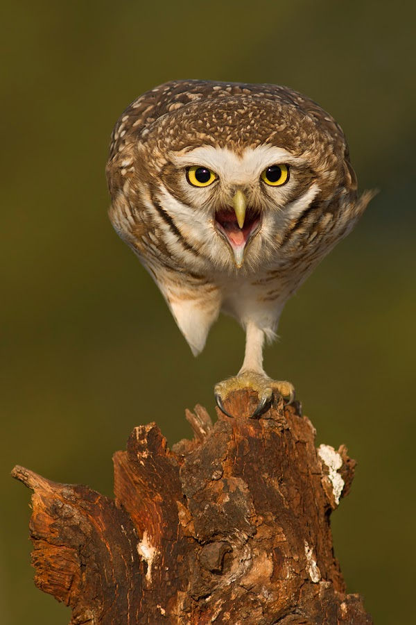 Pshhhhh! by Mariano Fernández - Animals Birds ( owl, fantastic wildlife, birds )