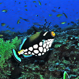 by Phil Bear - Animals Fish ( triggerfish, reef, clown triggerfish, coral, fish, coral reef, maldives )
