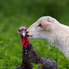 حيوانات المزرعة مجانا اللغز لعبة APK