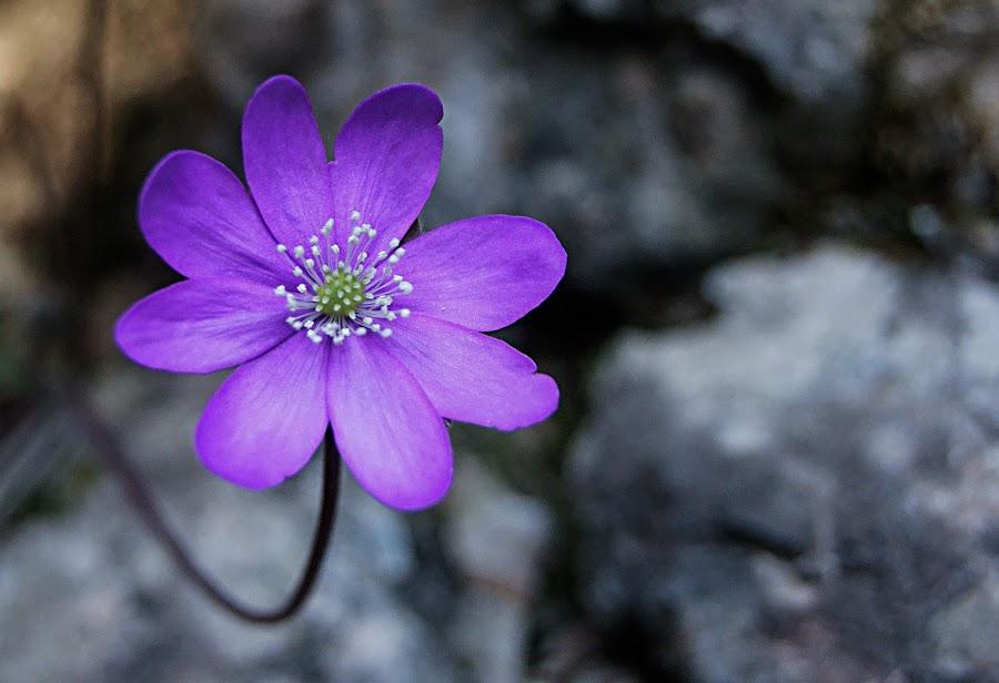 in the forest by Bojan Berce - Flowers Single Flower (  )