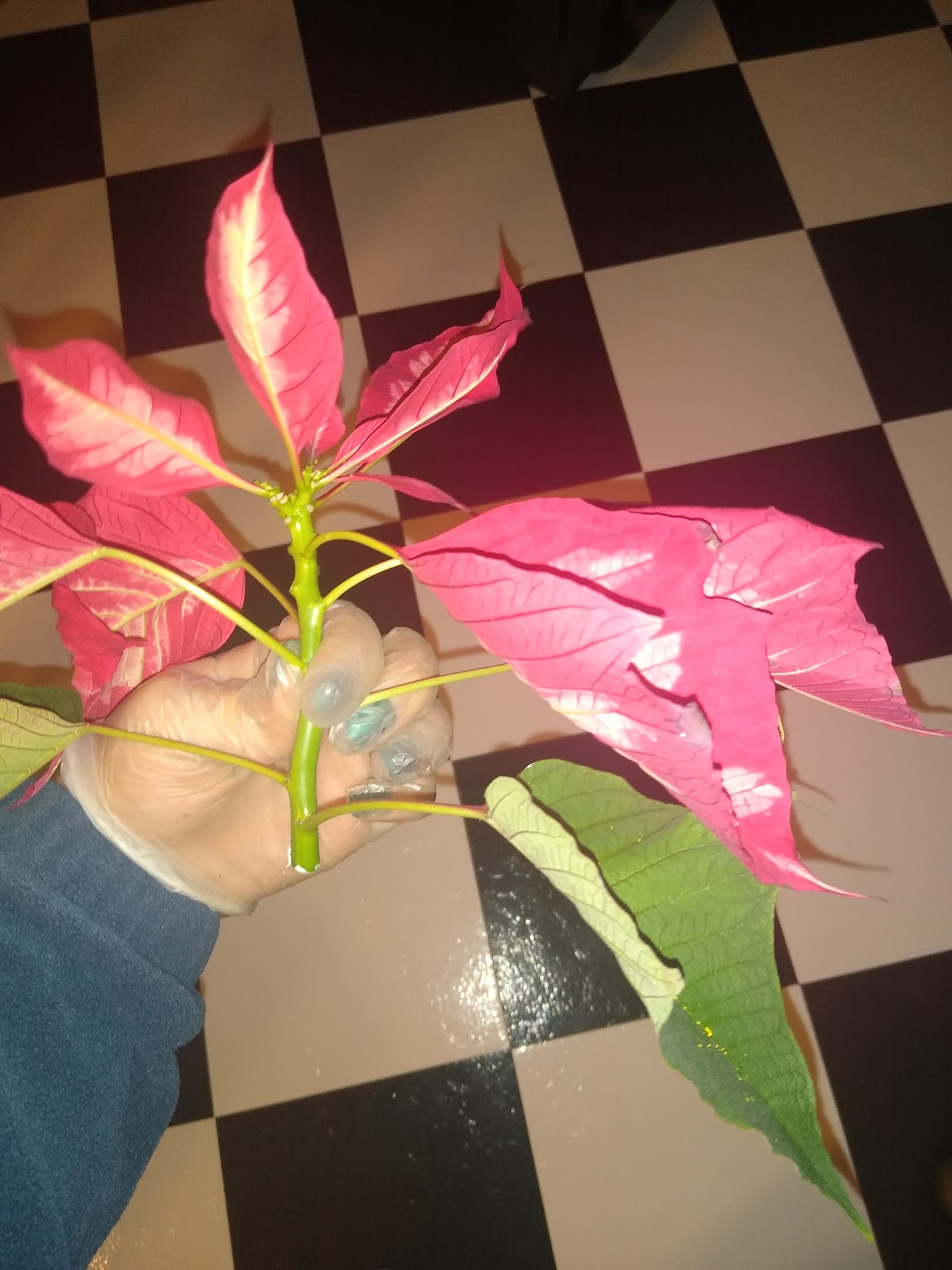 cut poinsettia branch image
