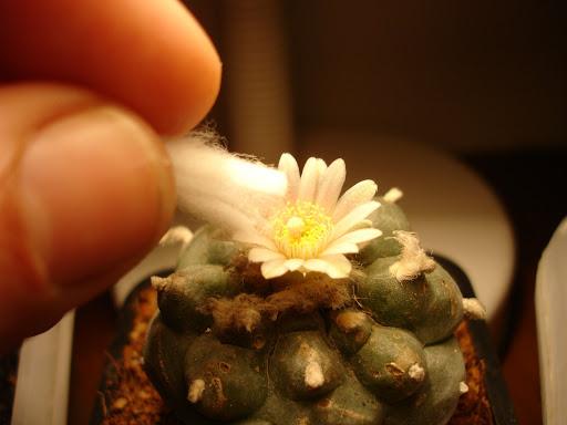 lophophora williamsii peyote flor polinizacion cactus cacti