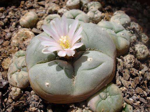 lophophora williamsii cactus cacti caespitosa peyote flor fruto