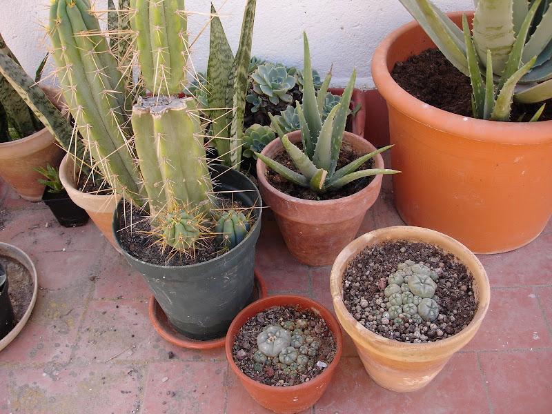 lophophora williamsii cactus cacti caespitosa peyote