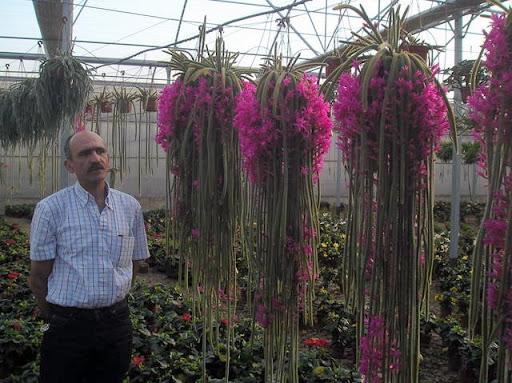 epifitas cactus cacti flores