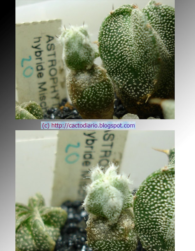 myriostigma unicostata cactus seedling