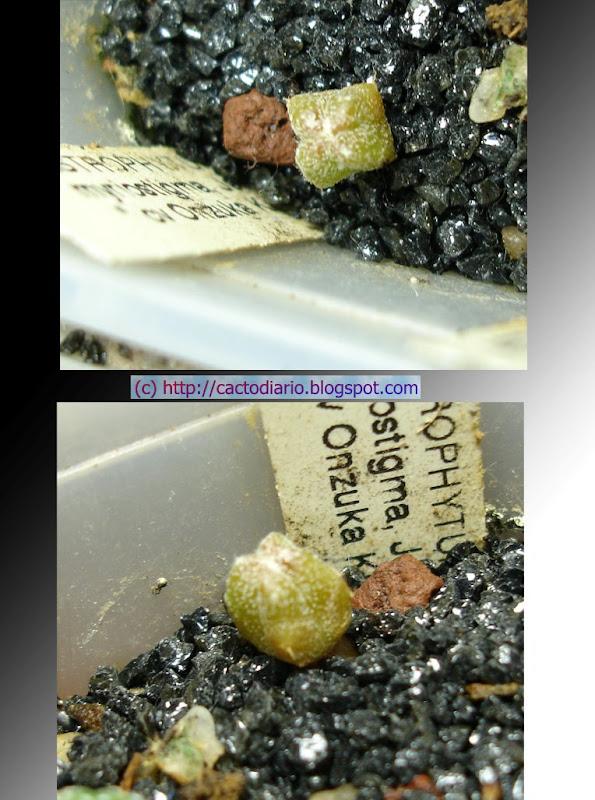 Myriostigma Onzuka kituko semillero seedling
