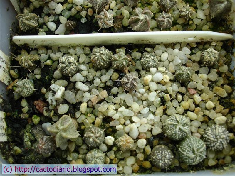semilleros astrophytum cactus seedling