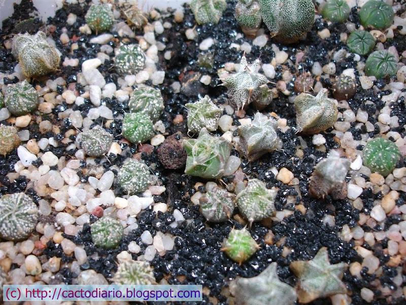 semilero astrophytum cactus seedlings