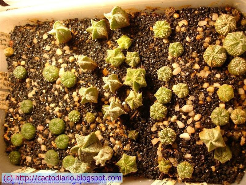 semillero astrophytums cactus seedling seguimiento