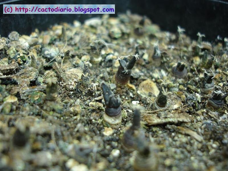 semillero cactus ariocarpus seedling cacti