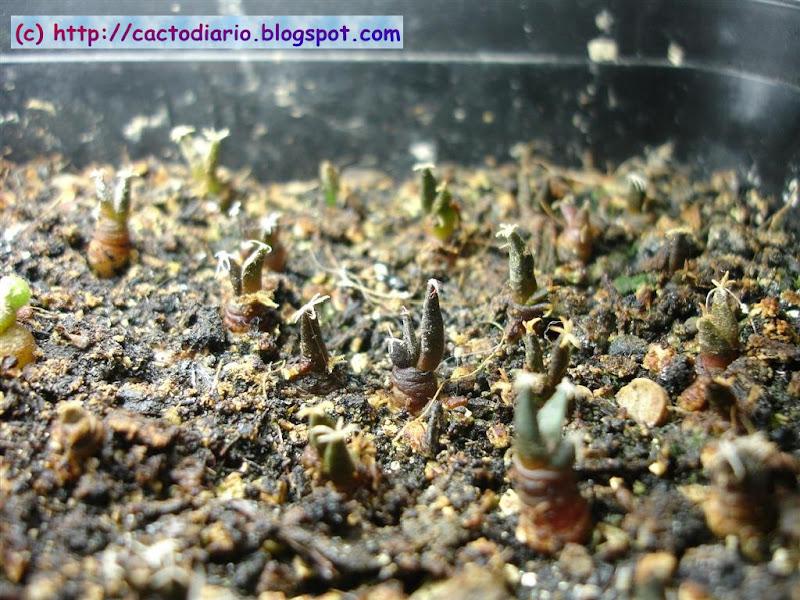 semillero ariocarpus cactus seedling cacti