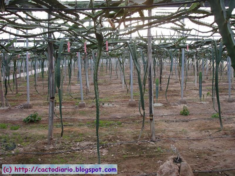 granja Hylocereus farm epifitas cactus cacti