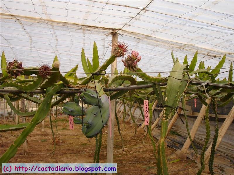 myrtillocactus injertos hylocereus granja farm epifitas cactus cacti graft
