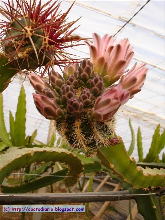 gimnocalcium graft injertos granja Hylocereus farm epifitas cactus cacti