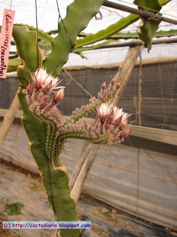 cactus flower graft injertos granja Hylocereus farm epifitas cacti