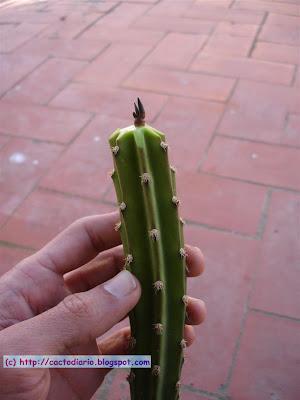 ariocarpus injerto injertar epifita plantula hybrid graft cactus cacti