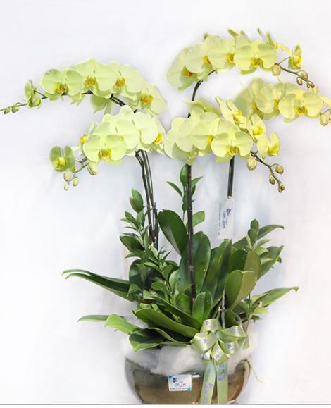 Top những mẫu hoa lan hồ điệp giá rẻ đầy quyến rũ
