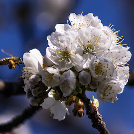 by Drago Gatolin - Flowers Tree Blossoms