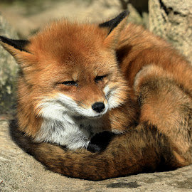 Fox enjoying the Winter Sunshine by Big Pikey - Animals Other Mammals ( fox winter sunshine, sleepy fox, red fox, curled up fox, sunbathing fox, fox napping,  )
