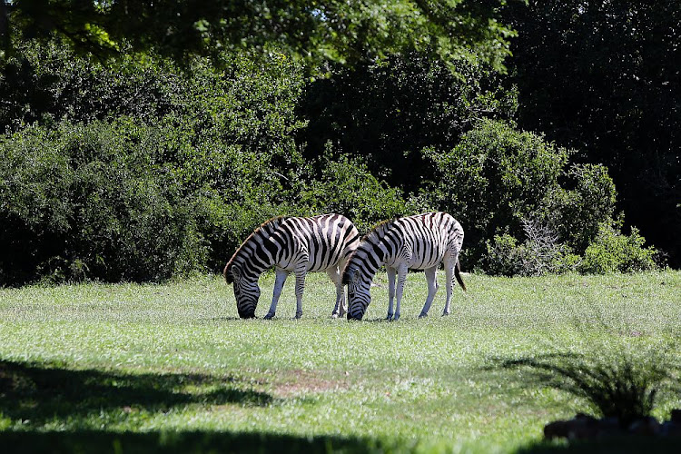 Zebra and other wildlife are commonly seen at the Sardinia Bay Golf and Wildlife Estate