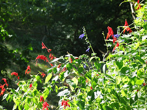 Photo: hummer is on right lafway down. Salvia superba and guarantica