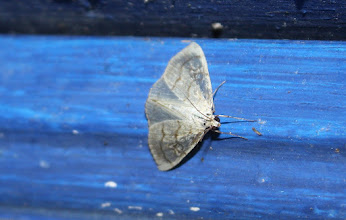Photo: Evergestis pallidata  Lepidoptera > Crambidae